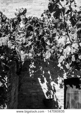 grapes on the vine before the harvesting, black and white photography