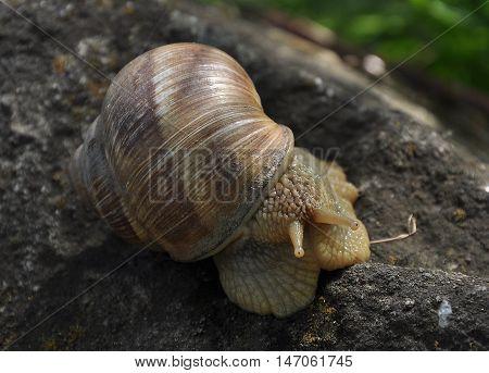 Burgundy snail, Roman snail, edible snail or escargot