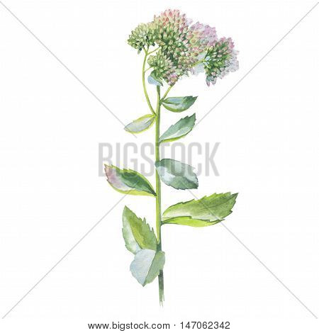 Wildflower flower Livelong in a watercolor style isolated. Full name of the herb: Orpine, Sedum, hylotelephium, livelong. Aquarelle flower for background, texture, pattern, frame or border.
