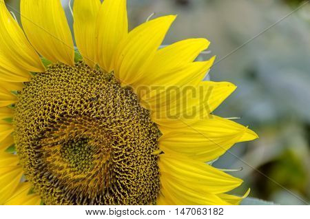 Close-up of one blossom sunflower or Helianthus annuus  with green background, Zavet, Bulgaria