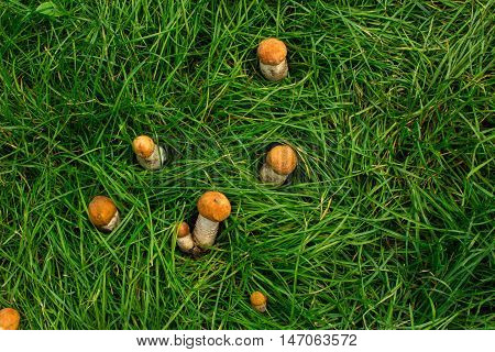 Forest mushrooms in the grass. Gathering mushrooms.