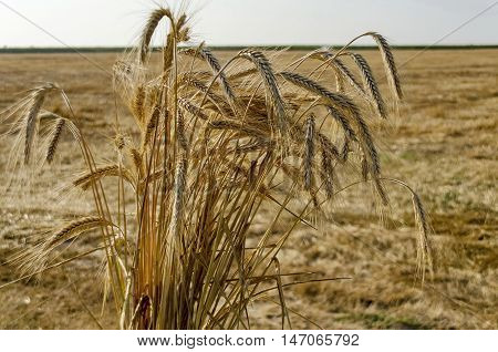 Sheaf ear of wheat  in background from stubble, Zavet, Bulgaria