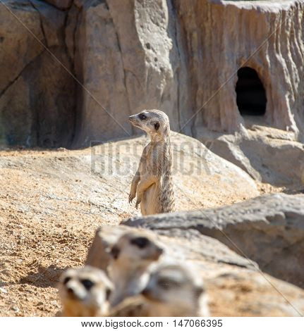 meerkat looks into the distance against the backdrop of his hole