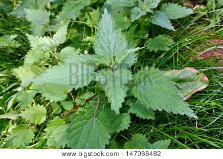 Common Nettle, Urtica Dioica