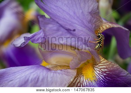 A yellow jacket wasp resting on a lavender iris bloom