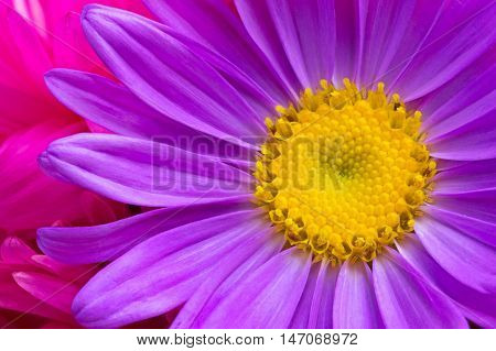 texture flower aster yellow and violet flowers close up on a background of purple petals