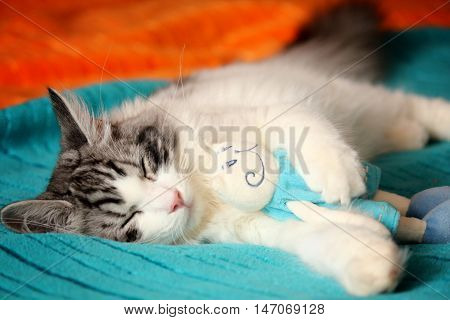 A white and tabby ragamuffin kitty sleeps on a blue and orange soft blanket with his cat doll.