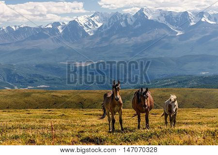 Scenic view with horses grazing in the meadow on the hillside against the background of mountains with snow and glaciers