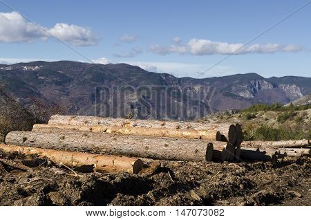 Timber of coniferous in a hill. Deforestation