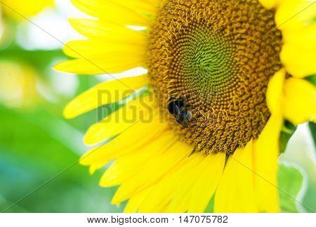 Bumblebee On A Sunflower