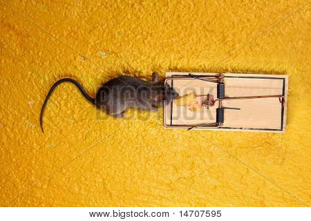 Dead Mouse In Cheese Trap Over Yellow