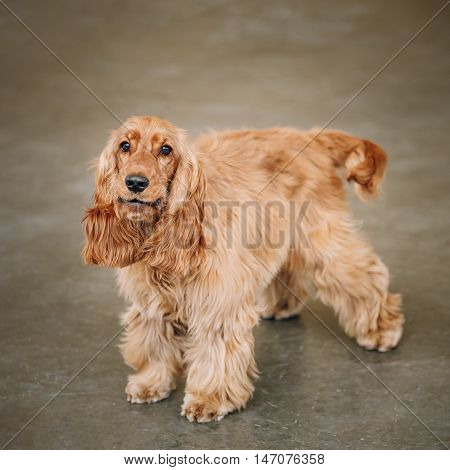 Brown English Cocker Spaniel Dog Indoor. Small Breed Of Domestic Dog.