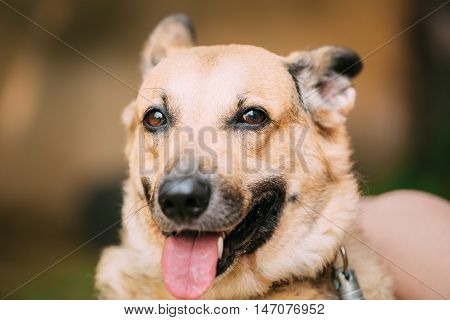 Close Up Of Funny Medium Size Mongrel Mixed Breed Short-Haired Yellow Adult Female Dog With Tongue In Collar On Brown Background. Dog Looking At Camera