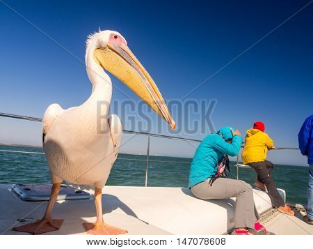 Friendly pelican sitting on a boat next to tourists on a cruise in Walvis Bay.