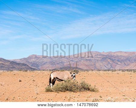 Single oryx antelope in Namib Desert Namibia Africa.