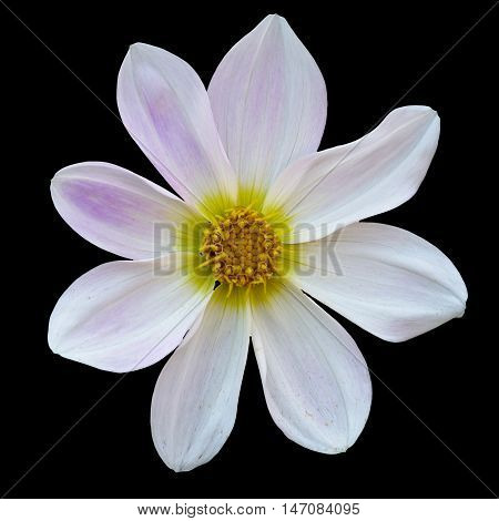 white flower Dalia georginia (Dahlia Cav.) in black background