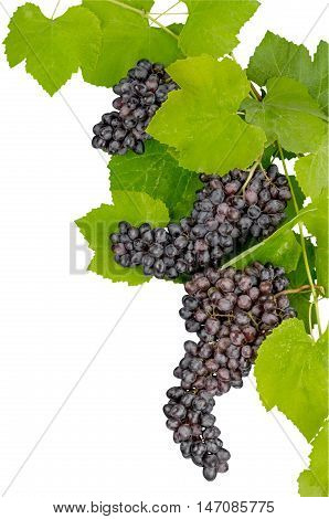 Red Grape Clusters With Leaves Close-up - Isolated