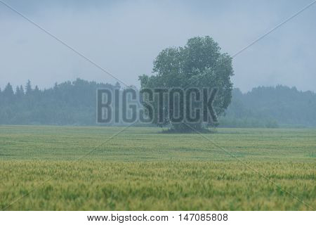 Tree in the middle of the wheat field. Rain and fruitage forest in background. Organic crop natural environment.