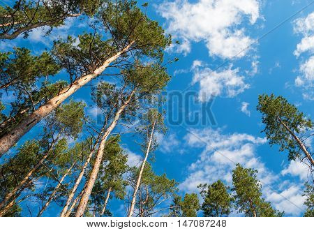 Pine on a background of sky and clouds