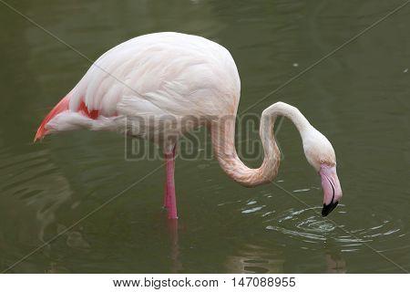 Greater flamingo (Phoenicopterus roseus). Wildlife animal.