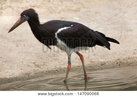 Abdim's stork (Ciconia abdimii), also known as the white-bellied stork. Wildlife animal.