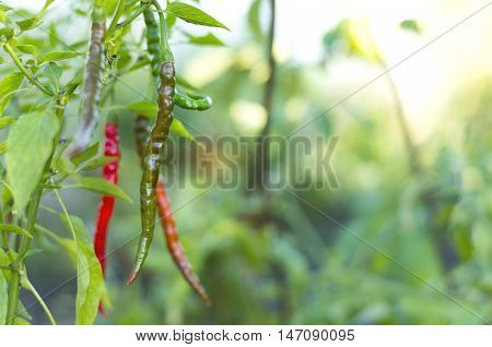 Close-up of chili plants with chili peppers in the garden, selective focus.