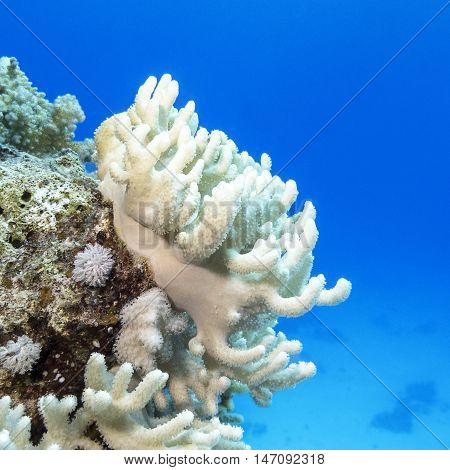 Coral reef with white turbinaria mesenterina at the bottom of tropical sea underwater