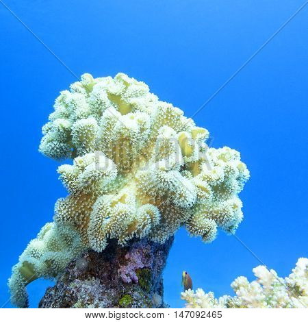 coral reef with great yellow mushroom leather coral at the bottom of tropical sea underwater