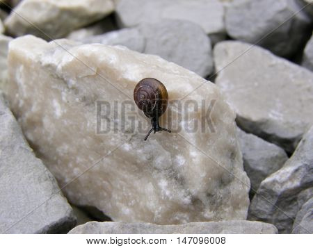 Black snail with brown shell crawling on the rocks