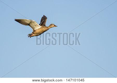 Mallard Duck Flying in a Blue Sky