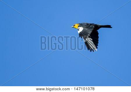 Yellow-Headed Blackbird Flying in a Blue Sky