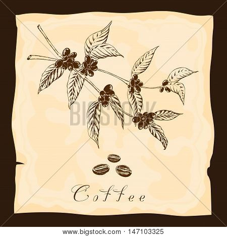 Two branches of coffee plant in vintage style. Hand drawn sketch.