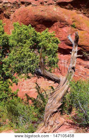 Juniper Pine Tree beside large red rocks taken in Red Rocks Park, CO