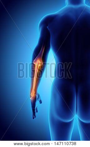 3D Illustration Of Ulna, Medical Concept.