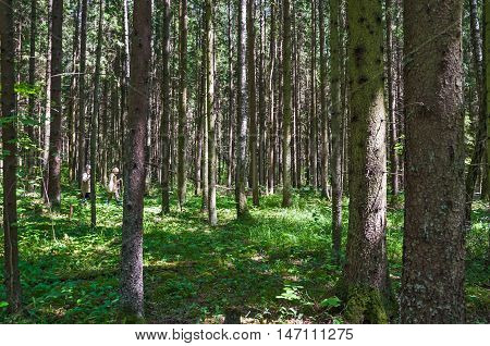Spruce forest on a Sunny summer day. The sun's rays Shine through the trees. People look for and gather mushrooms