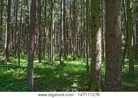 Spruce forest on a Sunny summer day. The sun's rays Shine through the trees. Woman is looking for and gather mushrooms