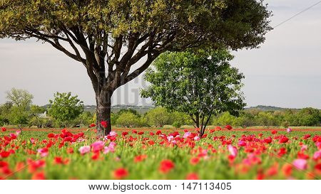 Field of poppies and trees in the springtime in Texas
