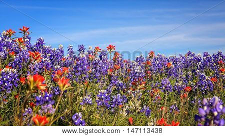 Field of Texas spring wildflowers including bluebonnets and indian paintbrush in Texas