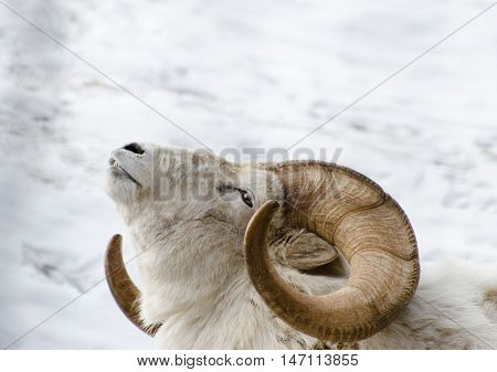 Big Horn Sheep tilting its head back in the winter