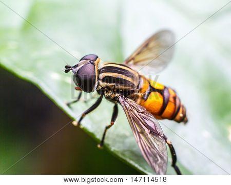 A Fly black orange perched on a green leaf