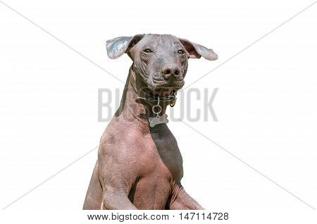 Xoloitzcuintle Mexican Hairless Dog or Xolo isolated on white