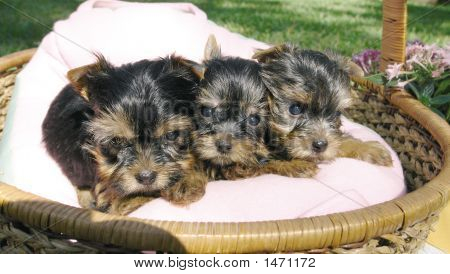 Three Yorkie Puppies