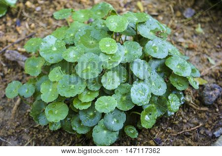 Pennywort also known as Pegaga. The health benefits of pennywort is memory circulation and skin conditions nervous system and immune system.