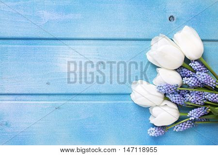 White tulips and blue muscaries flowers on blue wooden background. Selective focus. Place for text.