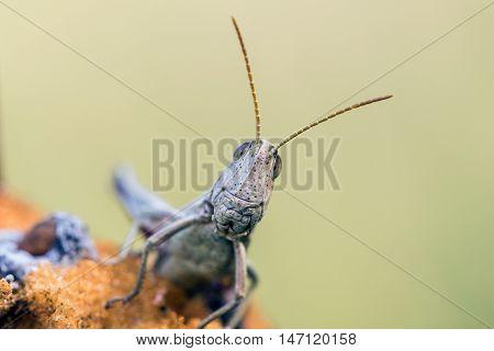 Detail Of Head White Grasshopper (chrysochraon Dispar)