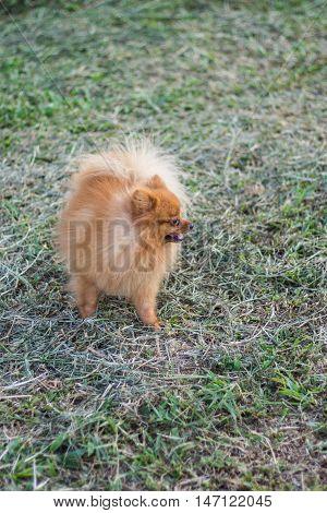 pomeranian in lawn , mammal cute pet