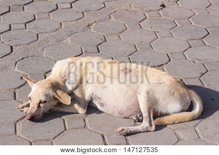 Thai stray pregnant dog , pet mammal