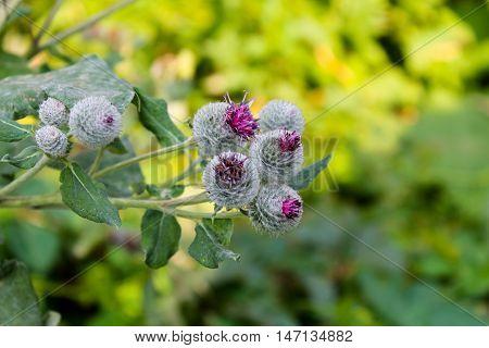 Blooming burdock (Arctium lappa) on the meadow