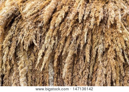 Wheat ears or rye spikes, orange color