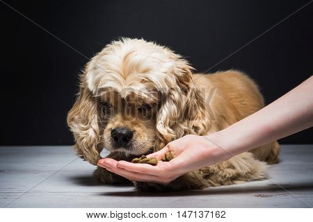 Female hand feeding a dog. American cocker spaniel lying on a white wooden floor. Young purebred Cocker Spaniel. Dark background.